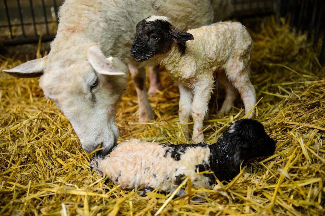 Andrea Kaiser besucht Familie Heseker auf ihrem Erlebnisbauernhof in Warendorf und wird Zeuge einer Zwillings-Lammgeburt ... - Bildquelle: Willi Weber SAT.1