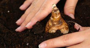Stecken Sie die Knollen ruhig bis zu zehn Zentimeter tief in die Erde.