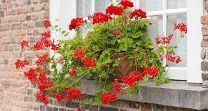 Gartengestaltung_2016_03_29_Geranien überwintern_Bild 1_fotolia_Ruud Morijn