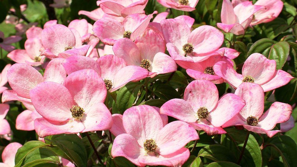 Blühende Sträucher Im Garten Pflanzen Sat1 Ratgeber