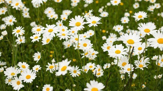 Margeriten Pflege Tipps Für Eine Schöne Blüte Sat1 Ratgeber