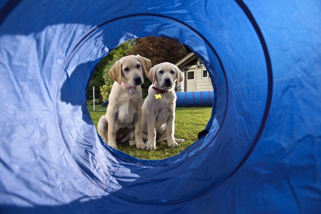 """""""Und da sollen wir durch?!"""" Marley und seine Hundefreundin werden für den Hundewettbewerb unter den Nachbarhunden trainiert. Ob sich der Aufwand lo... - Bildquelle: 2011 Twentieth Century Fox Film Corporation. All rights reserved."""