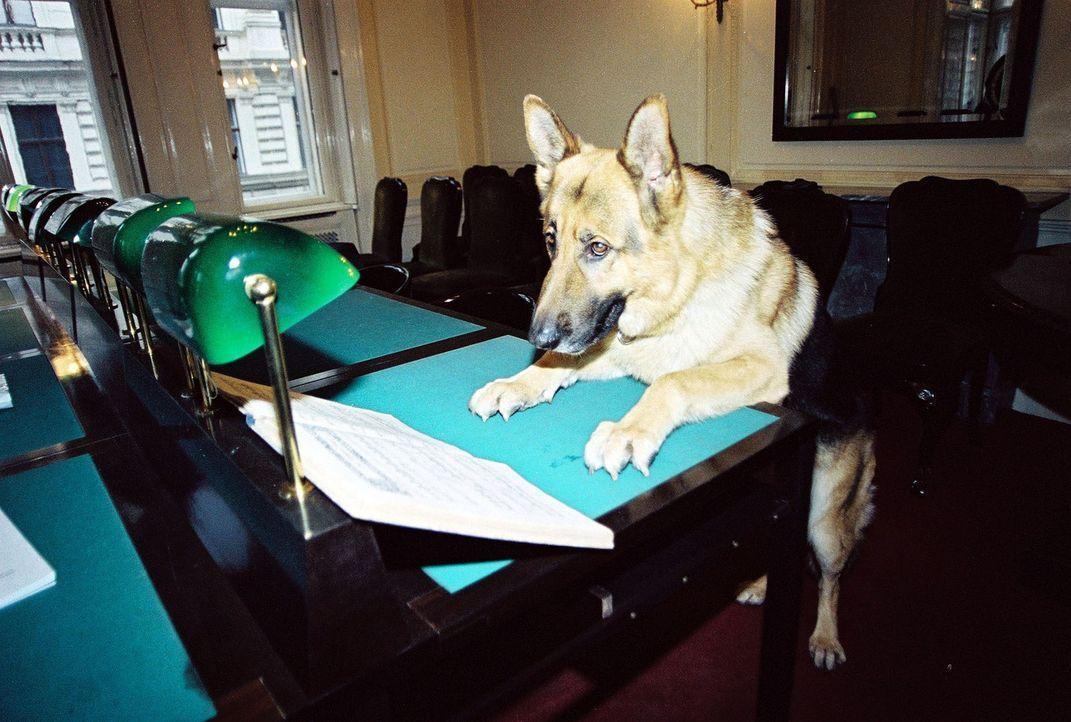 Kommissar Rex beim Aktenstudium ... - Bildquelle: Sat.1