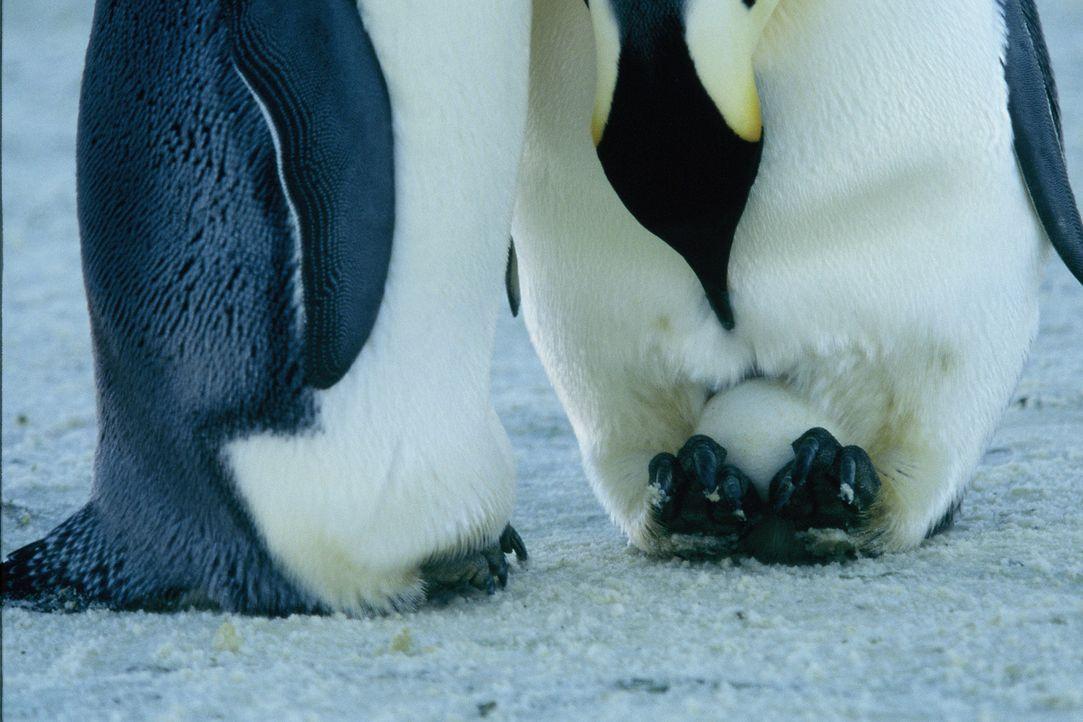 Die Kaiserpinguinmännchen bleiben an Ort und Stelle, um die kostbaren Eier auszubrüten, die sie auf ihren Füßen balancieren. Dabei sind sie Temperat... - Bildquelle: Kinowelt Filmverleih