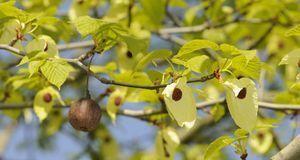 In den Früchten stecken die Samen. Sie sollten jedoch nur zur Vermehrung genu...