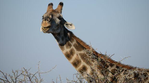 giraffe-246623_1920