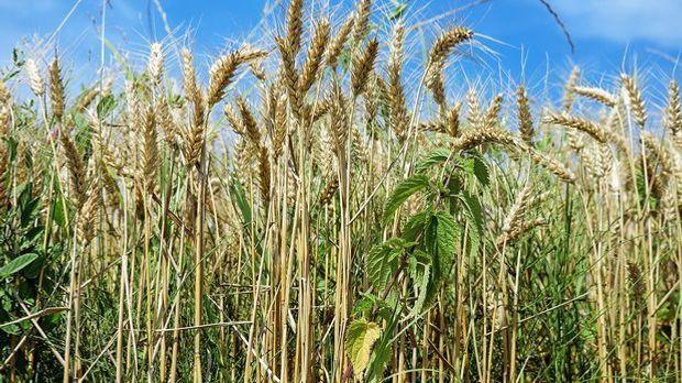 Getreide ist für Menschen mit der Blutgruppe B laut Blutgruppendiät tabu.