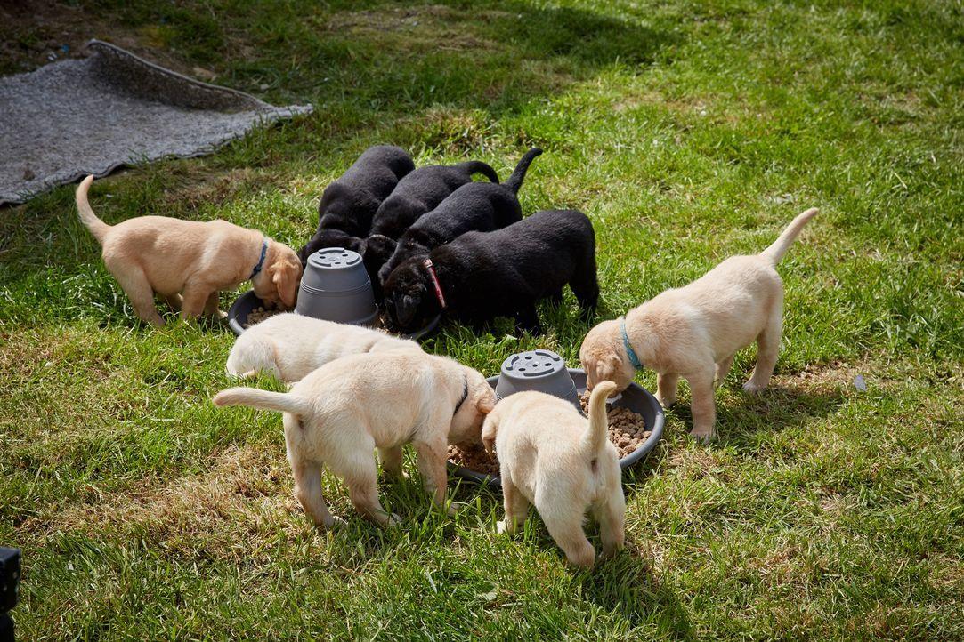 Bei Züchterin Nadja Müller sieht sich Familie Kolodziej Labrador Retriever Welpen an. Doch werden sie sich für einen dieser Rasse entscheiden? - Bildquelle: Guido Engels SAT.1