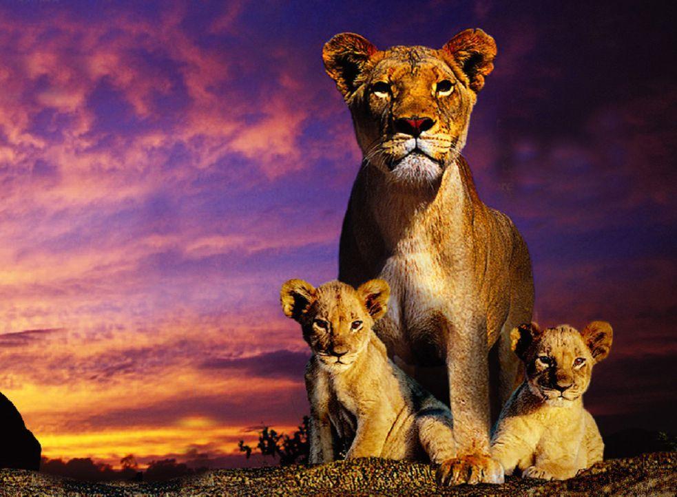 In der afrikanischen Savanne zieht die Löwenmutter Macheeba (M.) ihre beiden Löwenkinder Suki (l.) und Linus (r.) mit strengen, unnachgiebigen Ver... - Bildquelle: John Downer Productions Ltd