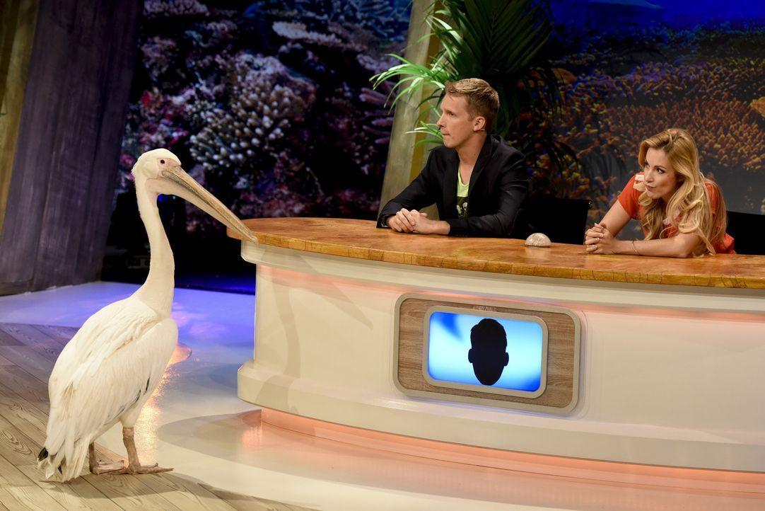 So ein Pelikan hält mehr Geheimnisse bereit, als Oliver Pocher (l.) und Andrea Kaiser (r.) gedacht hätten ... - Bildquelle: Martin Rottenkolber SAT.1