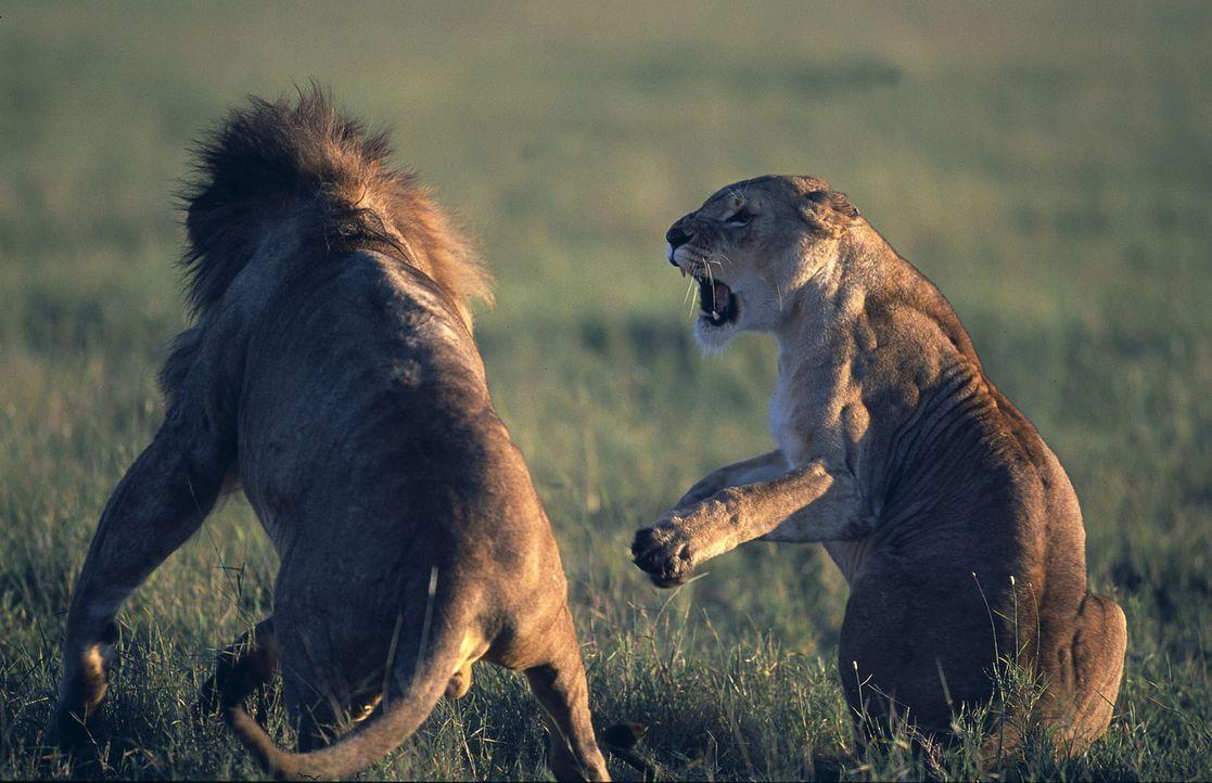 Eines Tages brechen Löwen eines feindlichen Rudels in die Idylle ein. Die selbstbewusste Suki (r.) startet sofort einen Gegenangriff und es gelingt... - Bildquelle: John Downer Productions Ltd