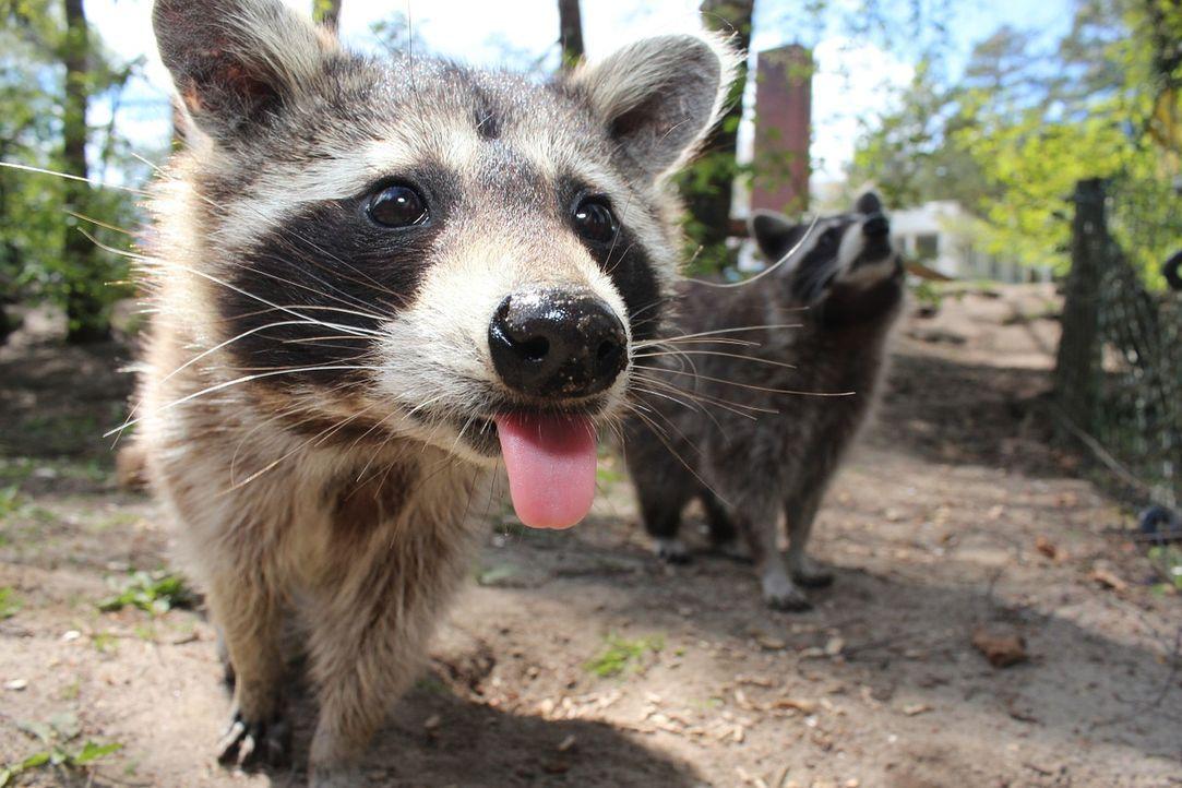 raccoon-750394_1280 - Bildquelle: Pixabay