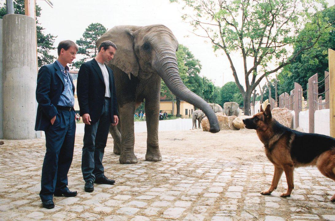 Kommissar Brandtner (Gedeon Burkhard, M.) und Böck (Heinz Weixelbraun, l.) fordern Rex auf, im Zoo die Spur des Verwandlungskünstlers zu verfolgen. - Bildquelle: Sat.1