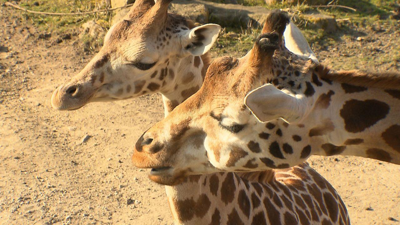Andrea Kaiser besucht die ZOOM Erlebniswelt in Gelsenkirchen und das wenige Wochen alte Giraffenbaby Matteo ... - Bildquelle: SAT.1