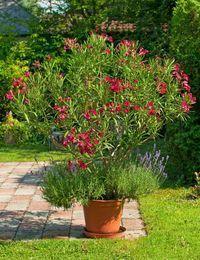 Oleander gedeiht in den hiesigen Breiten am besten in einem Kübel. So kann er...