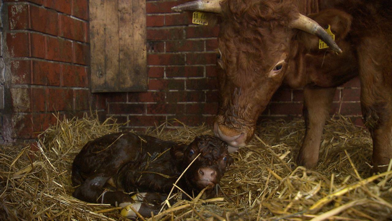Andrea Kaiser ist zu Besuch auf dem Erlebnisbauernhof Hof Heseker und wird Zeuge einer Kuhgeburt ... - Bildquelle: SAT.1